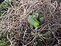 Green parrots at Parque por la Paz Villa Grimaldi - Santiago Chile - Peace Park (5277460389).jpg