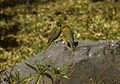 Greenish Yellow-Finch - Peru 86 varie 0044 (23392280695).jpg