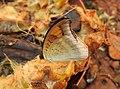 Grey Count Tanaecia lepidea by Raju Kasambe DSCN3072 (5).jpg