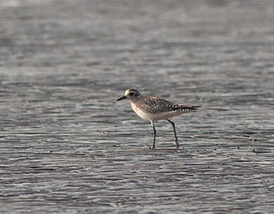 Grey plover - Grey plover in non-breeding plumage from Arnala, Virar, Maharashtra, India in February 2016