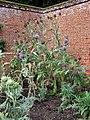 Growing in a sunny corner - artichokes (Cynara scolymus) - geograph.org.uk - 935419.jpg