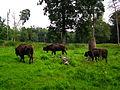 Gruppe Bison Wildpark Alte Fasanerie Juni 2012.JPG