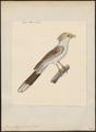 Guira piririgua - 1824-1839 - Print - Iconographia Zoologica - Special Collections University of Amsterdam - UBA01 IZ18800131.tif