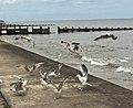 Gulls-walcott.jpg