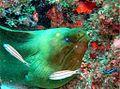 Gymnothorax funebris in Madagascar Reef.jpg