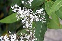 Gypsophila oldhamiana 2