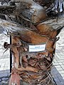 HK Ap Lei Chau Wind Tower Park 鴨脷洲風之谷公園 tree Washingtonia Robusta Wendl trunk sign April-2012.JPG