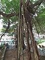 HK SW 上環 Sheung Wan卜公花園 Blake Garden 老榕樹 Chinese banyan tree 氣根 root n trunk February 2020 SS2 09.jpg