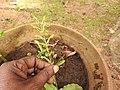 Habenaria fulcifera-2-bsi-yercaud-salem-India.jpg