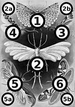 Haeckel Tineida big spots.jpg
