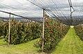 """Hagelschutznetze über Apfel""""bäumen"""" am Bodensee.jpg"""