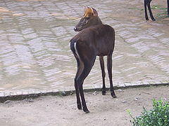 Hairy-fronted muntjac.JPG
