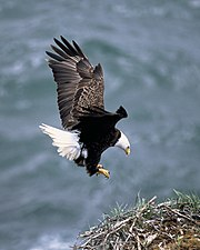 Bald Eagle adult landing on nest