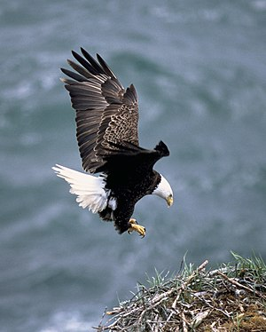 Sea eagle - Bald eagle (Haliaeetus leucocephalus)