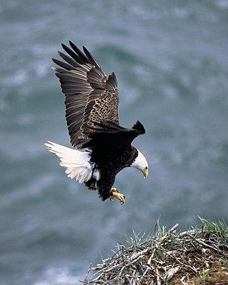 Alula - Adult bald eagle landing, showing the alula in action