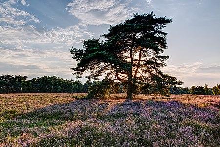 "Nature reserve ""Westruper Heide"" at the beginning of flowering of the heath, Haltern am See, North Rhine-Westphalia, Germany"