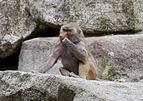 Hamadríade (Papio hamadryas), Tierpark Hellabrunn, Múnich, Alemania, 2012-06-17, DD 13.JPG