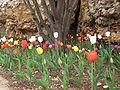 Har Adar Tulips.jpg