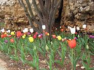 Har Adar Tulips