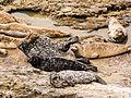Harbor Seals at Wilder Ranch State Park (14725296343).jpg