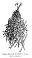 Haricot flageolet Merveille de France Vilmorin-Andrieux 1904.png