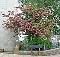 Hawthorn (?) at Bradford College (7303319256).jpg