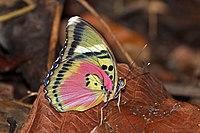 Hebes pink forester (Euphaedra hebes).jpg