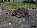 Hedgehog at night.jpg