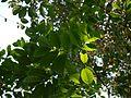 Hejje Karakalu (Kannada- ಹೆಜ್ಜೆ ಕರಕಲು) (6782383808).jpg