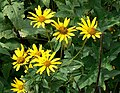 Helianthus grosserratus.jpg