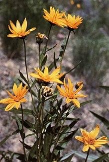 Helianthus nuttallii.jpg