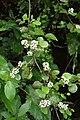 Helichrysum lanceolatum kz03.jpg