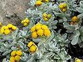 Helichrysum splendidum 2.jpg