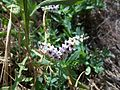 Heliotropium europaeum-3.jpg