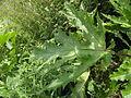 Heracleum mantegazzianum R.H. 10.jpg