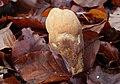 Herkuleskeule Clavariadelphus pistillaris.jpg