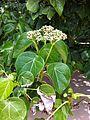Hernandia nymphaeifolia flowers Beqa Fiji 2.jpg
