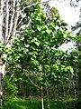 Hibiscadelphus giffardianus (5516736244).jpg