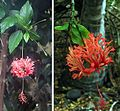 Hibiscus schizopetalus (25502688054).jpg