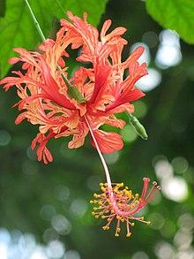 Hibiscus Schizopetalus Wikipedia