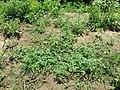 Hibiscus trionum sl29.jpg