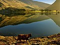 Highland Calfs on Buttermere - panoramio.jpg