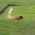 Highland cattle waiting for tourists - panoramio.jpg