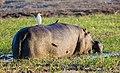 Hipopótamo (Hippopotamus amphibius), parque nacional de Chobe, Botsuana, 2018-07-28, DD 85.jpg