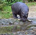 Hippopotamus amphibius juvenile Basel Zoo 28102013 1.jpg
