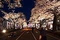 Hitachi Sakura Festival, Ibaraki 22.jpg