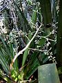 Hohenbergia blanchetii (Baker) E.Morren ex Mez - Flickr - Alex Popovkin, Bahia, Brazil (11).jpg