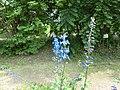 Hokkaido University botanical garden flower.JPG
