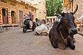 Holy cow in Jaisalmer 06.jpg
