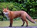 Home fox (36468606055).jpg